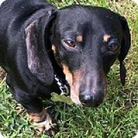Adopt A Pet :: Comet Carbonara - Houston, TX