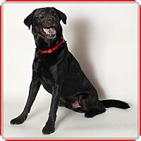 Adopt A Pet :: Gotham - Glendale, AZ