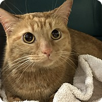 Adopt A Pet :: Gingersnap - Warren, MI