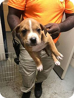 Labrador Retriever Mix Puppy for adoption in New Smyrna Beach, Florida - Cemetary Puppy 2***HOLD***