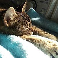 American Shorthair Cat for adoption in Charlotte, North Carolina - Sera