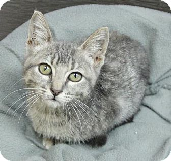 Domestic Shorthair Kitten for adoption in Benbrook, Texas - Pounce