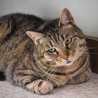 Domestic Shorthair Cat for adoption in Wayne, New Jersey - Nirvana