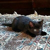 Adopt A Pet :: Purrlock Holmes - Shelbyville, KY