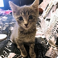 Domestic Shorthair Kitten for adoption in Palatine, Illinois - Sweet Pea