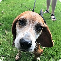Beagle Mix Dog for adoption in Chattanooga, Tennessee - Bagel