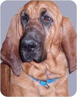 Bloodhound Mix Dog for adoption in Grass Valley, California - Elliemae