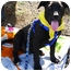 Photo 1 - Labrador Retriever/Border Collie Mix Puppy for adoption in Sacramento, California - Magnum sweet