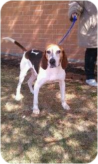 Coonhound Dog for adoption in Orland Park, Illinois - Barney