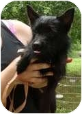 Yorkie, Yorkshire Terrier Mix Dog for adoption in Londonderry, New Hampshire - Oscar
