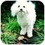 Photo 2 - Bichon Frise Dog for adoption in Portland, Oregon - Skeeter Bug