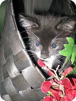 Domestic Shorthair Kitten for adoption in Clearfield, Utah - Moolah