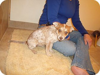 Australian Cattle Dog/Rat Terrier Mix Puppy for adoption in Phoenix, Arizona - Piper - Adoption Pending