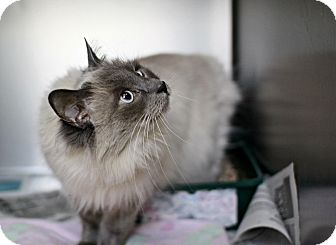 Balinese Cat for adoption in East Hanover, New Jersey - Dizzy