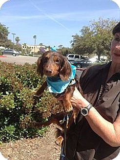 Dachshund Dog for adoption in Santee, California - Chief