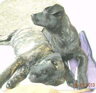 Labrador Retriever/Mastiff Mix Puppy for adoption in San Ysidro, California - Fancy&Sisters