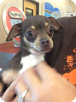Chihuahua Mix Dog for adoption in Walker, Louisiana - Megan
