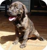 Labrador Retriever/Hound (Unknown Type) Mix Puppy for adoption in Staunton, Virginia - Randi