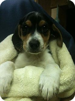 Beagle Mix Puppy for adoption in PLAINFIELD, Indiana - Ace
