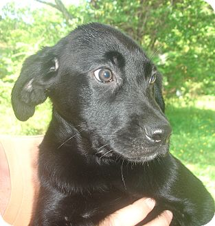 Labrador Retriever Mix Puppy for adoption in Old Bridge, New Jersey - Dallas