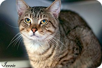 Domestic Shorthair Cat for adoption in Manahawkin, New Jersey - Jerrie