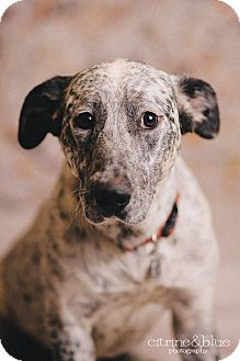 Dalmatian/Australian Cattle Dog Mix Dog for adoption in Portland, Oregon - Camo