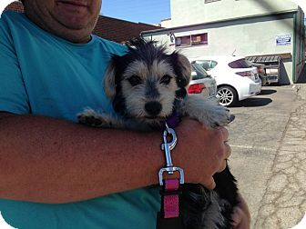 Terrier (Unknown Type, Small) Mix Puppy for adoption in Los Angeles, California - MOOSE