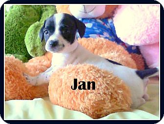 Cattle Dog Mix Puppy for adoption in Higley, Arizona - JAN
