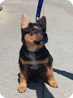 "Australian Cattle Dog/German Shepherd Dog Mix Puppy for adoption in LaGrange, Kentucky - YANI ""PEACEFUL"""