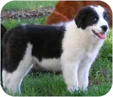 Border Collie Puppy for adoption in Overland Park, Kansas - Max