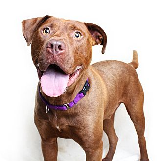Pit Bull Terrier Mix Dog for adoption in Wilmington, Delaware - Dirk