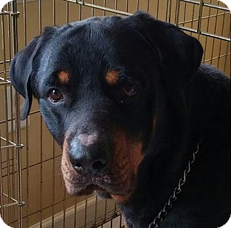 Rottweiler Mix Dog for adoption in Frederick, Pennsylvania - Rock