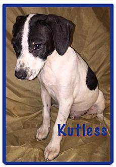 Dalmatian/Pointer Mix Puppy for adoption in ST LOUIS, Missouri - Kutlass