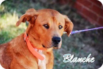 Golden Retriever/Labrador Retriever Mix Dog for adoption in Clinton, Oklahoma - Blanche