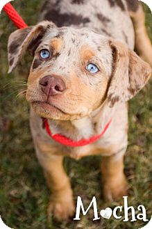 Catahoula Leopard Dog Mix Puppy for adoption in DFW, Texas - Mocha