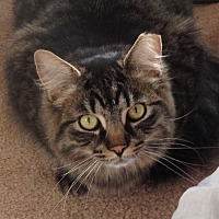 Domestic Mediumhair Cat for adoption in Horsham, Pennsylvania - Rocky & Jasmine