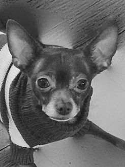 Chihuahua Dog for adoption in Albion, Rhode Island - Matty-I'M ADOPTED!!!
