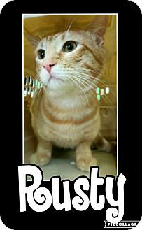 Domestic Shorthair Cat for adoption in Edwards AFB, California - Rusty