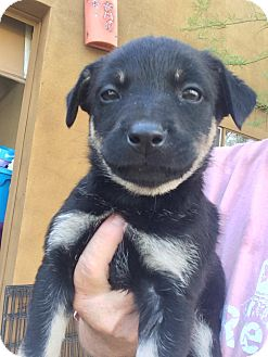 German Shepherd Dog/Australian Cattle Dog Mix Puppy for adoption in Cave Creek, Arizona - Olive