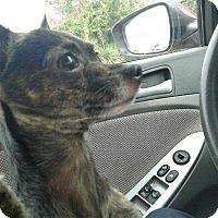Adopt A Pet :: Rocko - Allen, TX