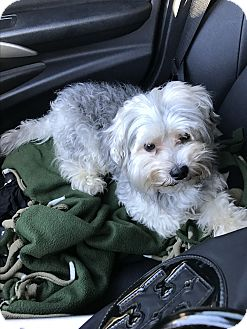 Yorkie, Yorkshire Terrier/Poodle (Miniature) Mix Dog for adoption in Boynton Beach, Florida - Oliver