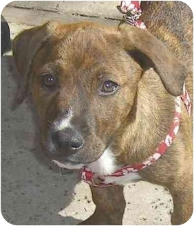 American Staffordshire Terrier/Basset Hound Mix Puppy for adoption in Rolling Hills Estates, California - Chocolate
