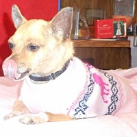 Chihuahua Dog for adoption in Yucaipa, California - Penny