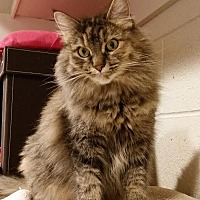 Adopt A Pet :: Sweetie Pie - Palo Cedro, CA