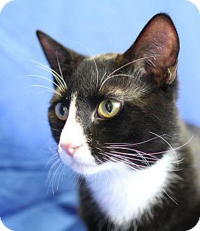 Domestic Shorthair Cat for adoption in Winston-Salem, North Carolina - BW