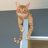 Adopt A Pet :: Sebastian - Brooklyn, NY