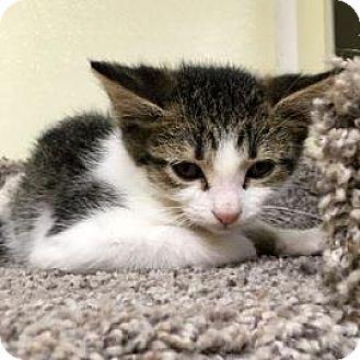 Domestic Shorthair Kitten for adoption in Janesville, Wisconsin - Toby