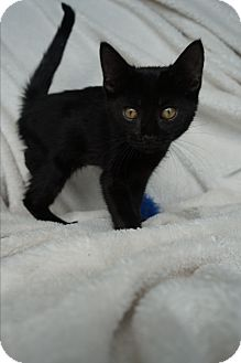 Domestic Shorthair Kitten for adoption in Lakeland, Florida - Boo