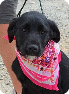 Labrador Retriever/Terrier (Unknown Type, Medium) Mix Puppy for adoption in Allentown, New Jersey - Dolly