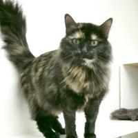 Adopt A Pet :: Moo Moo - Lakeside, AZ